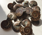 Polished Ammonite Fossil #110216